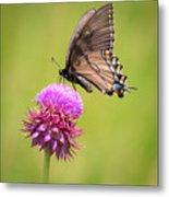 Eastern Tiger Swallowtail Dark Form  Metal Print