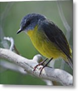 Eastern Yellow Robin Metal Print