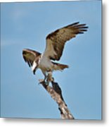 Eating Osprey-1 Metal Print by Rudy Umans