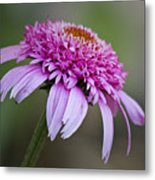 Echinacea Pink Double Delight Metal Print