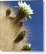 Echinopsis Atacamensis Cactus In Flower Metal Print