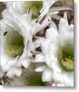 Echinopsis Blossoms  Metal Print