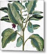 Eggplant, 1735 Metal Print