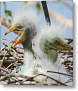 Egret Chicks In Nest With Egg Metal Print