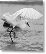 Egret Hunting In Black And White Metal Print