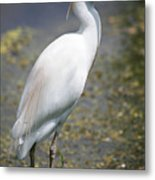 Egret Or Crane Metal Print