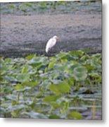 Egret Standing In Lake Metal Print