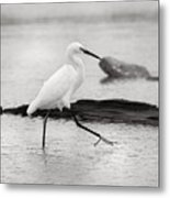 Egret Step In Black And White Metal Print