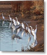 Egrets Gathering For Fishing Contest. Metal Print