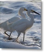 Egrets In The Shallows Metal Print
