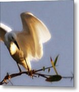 Egrets Landing Metal Print