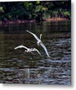 Egrets V Metal Print