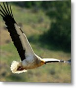 Egyptain Vulture In Flight  Metal Print