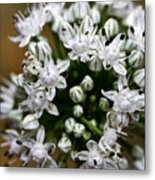 Egyptian Onion Metal Print