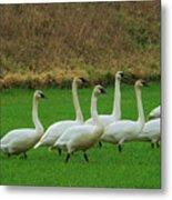 Eight Beautiful Swans Metal Print