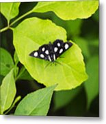 Eight Spotted Forester Metal Print