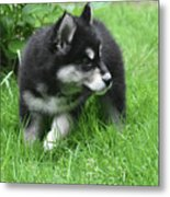 Eight Week Old Alusky Puppy On A Summer Day Metal Print