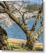 Elder Cherry Tree Metal Print