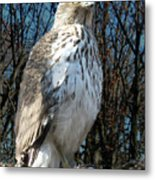 Elder Hawk Metal Print