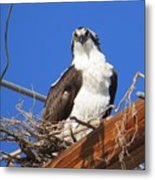 Electric Blue Osprey Metal Print