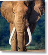 Elephant Approaching Metal Print