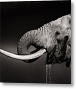 Elephant Bull Drinking Water - Duetone Metal Print