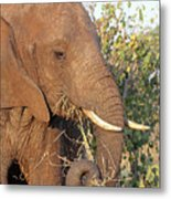 Elephant - Curled Trunk Metal Print