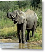 Elephant Drinking Metal Print