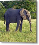 Elephant Feeding Metal Print