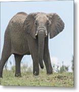 Elephant Forward On Mound Metal Print