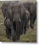 Elephant Herd Metal Print