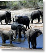 Elephant Pool Metal Print