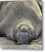 Elephant Seal 3 Metal Print