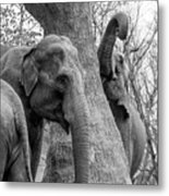 Elephant Tree Black And White  Metal Print