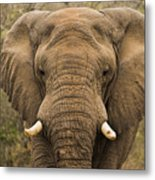 Elephant Watching Metal Print