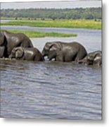 Elephants Crossing Chobe River Metal Print
