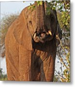 Elephant's Supper Time Metal Print