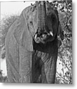 Elephant's Supper Time In Black And White Metal Print
