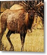Elk #1 Metal Print