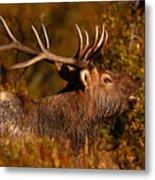 Elk Bull Bugling In Autumn Woodlands Metal Print