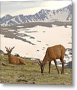 Elk Bulls In The Highlands Of Colorado Metal Print