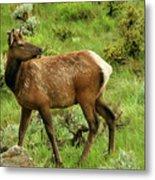 Elk Doe Metal Print