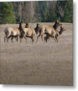 Elk Herd Metal Print