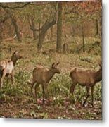 Elk In The Early Morning Metal Print