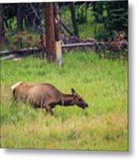 Elk In The Field Metal Print