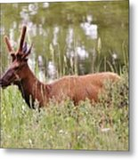 Elk Of Jasper... Metal Print