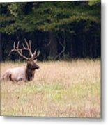 Elk Sitting Down Metal Print