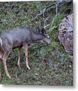 Elk With Antlers Metal Print