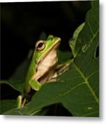 Emerald Eye Tree Frog Metal Print