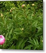 Emergence        Peony         May            Indiana Metal Print